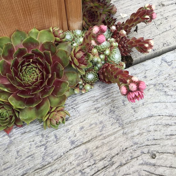 Millboard Weathered Oak Driftwood with succulents