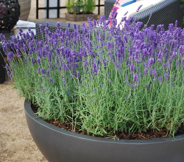 A fibreglass Geo Bowl planter with purple lavenders planted inside