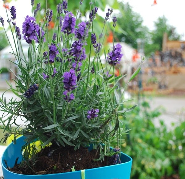 Add instant colour to your garden with purple lavenders in a number of our Coloured Planters
